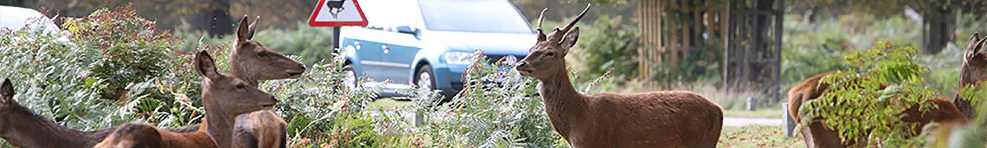 Deer on British roads