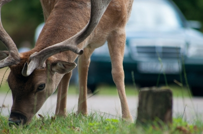 Don't End 2020 With a Deer Vehicle Collision!