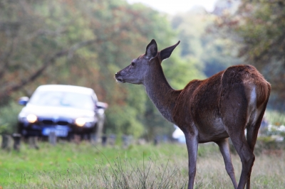 Five steps motorists should take to avoid deer collisions this autumn
